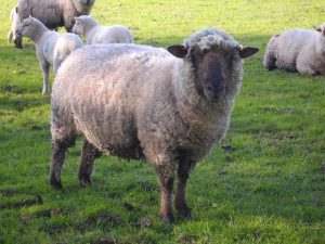 Contented sheep at Wernlwyd / Grey Alders