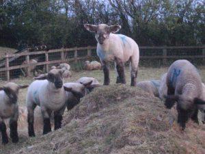 Real lambs at Grey Alders!