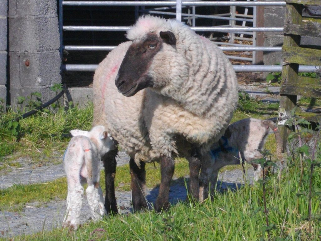 Irene with her lambs outside the lambing shed.