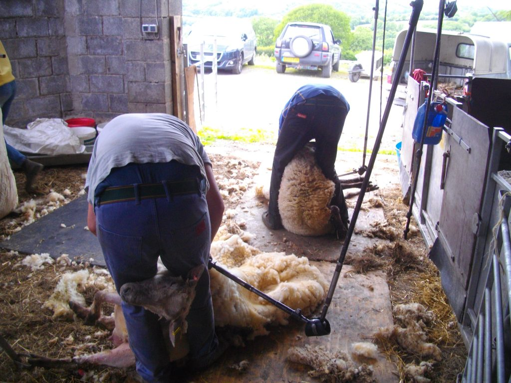 Contractors shearing our sheep.